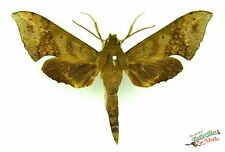 sphinx moth Xylophanes brevis SET x1 Guatemala taxidermy insect art photo