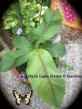 MUSA BASJOO Cold Hardy BANANA TREE Plant 2-3ft