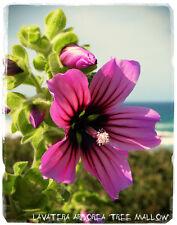 """LAVATERA arborea """"TREE Mallow"""" (SYN. MALVA ARBOREA) [ ex. Cornovaglia ] 45 + semi"""