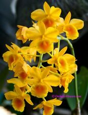 Rare orchid species seedling - Dendrobium chrysotoxum