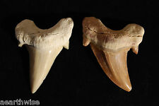 1 x SHARK TOOTH  - AMULET Wicca Witch Pagan Goth TOTEM POWER PROTECTION BRAVERY