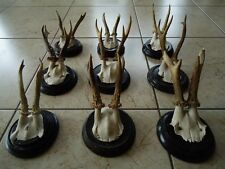 ANTIQUE BLACK FOREST ROE DEER ANTLERS-ART DECO-WOOD CARVING-MULE DEER-ELK-MOOSE-