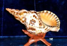 "7""to 8"" CARIBBEAN TRITON SEA SHELL NAUTICAL BEACH DECOR NAUTICAL TROPICAL REEF"
