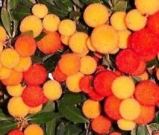Winterharter Erdbeerbaum für den Garten - Erdbeeren
