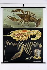 crayfish large poster chart canvas print hagemann jung koch