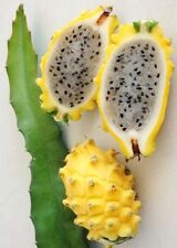 Hylocereus Megalanthus yellow dragon fruit cereus cacti cactus pitaya 15 SEEDS