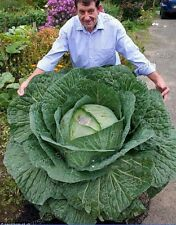 Tasty  200 Giant Russian Cabbage Seeds Four Seasons Sowing Non Gmo Heirloom