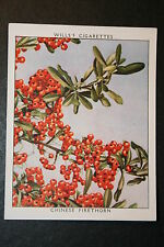 Chinese Firethorn    Vintage  Colour Card  VGC