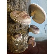 "12"" Shiitake Mushroom Log Grow Kit Organic Growing Garden Fast Growth"