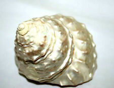 Moti Shank / Mother of Pearl shankh 2 Inch Blessed, Anointed, Energized Pooja
