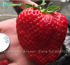 *NEW* STRAWBERRY * GIANT* , LARGEST FRUIT , EVERBEARING 50 SEEDS
