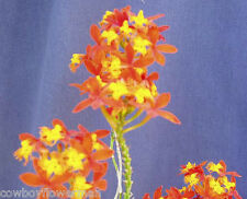 "Epidendrum radicans, Species Orchid, Everblooming, Two Plants Shipped in 4"" Pot"