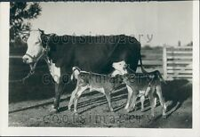 1932 Mother Cow Blackie w Her Triplets Calves Live Oaks California  Press Photo