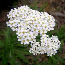 MILENRAMA BLANCA 500 semillas  Seeds