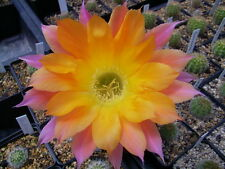 "Schick Echinopsis Hybride Kindel "" Embraceable You """