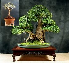 Ficus Nerifolia Bonsai - Do it yourself - Self Design - Plant+Wires for Design