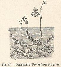 B1160 Utricularia vulgaris - Incisione antica del 1929 - Engraving