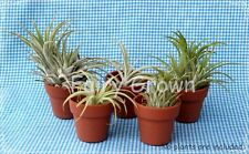 "1-1/2"" Plastic Micro Mini Thumb Pots (2) for African Violets, Air Plants, 38mm"