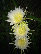 Dragon Fruit (White) Night Blooming Cactus, 3- Rooted cuttings