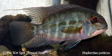 "(1) 3.5"" True Parrot Cichlid Hoplarchus psitticus WILD Live Freshwater Tropical"