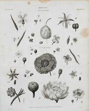 1807 Botánica Clase V cruciforme grabado impresión Rees Placa Iii