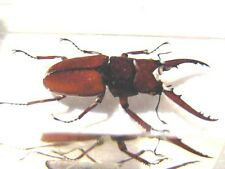 Red Wine Antler Stag Beetle in acrylic paperweight 3x1x1.5 inch real stag beetle