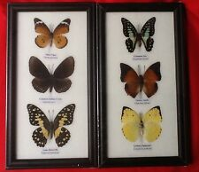 6 REAL BUTTERFLIES BUTTERFLY TAXIDERMY INSECT PICTURE 2 FRAMES ENTOMOLOGY JAY