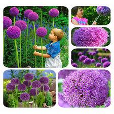 20pcs Home Garden Perennial Giant Allium Giganteum Onion Magenta Flower Seeds