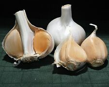 Elephant Garlic ~ Huge!!  3 Cloves~~ Easy to Grow ~~ Allium Ampeloprasum