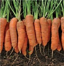 Vegetable - Carrot - Resistafly F1 - 200 Seeds - Economy Pack