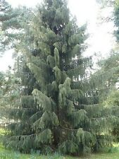 Picea breweriana BREWERS SPRUCE TREE Seeds!