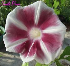 Chachamaru Japanese Morning Glory Seeds - ipomoea Nil - Charming Brown