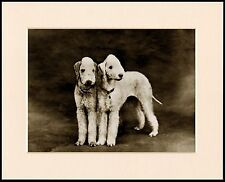 BEDLINGTON TERRIER TWO DOGS LOVELY DOG PHOTO PRINT MOUNTED READY TO FRAME