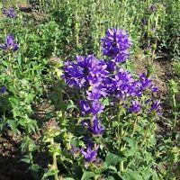 Wildflower Seeds - Clustered Bellflower - 10,000 Seeds