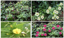 FOUR O'CLOCK PERENIAL MIXED COLORS   10  SEEDS  4 U TO PLANT IN SPRING