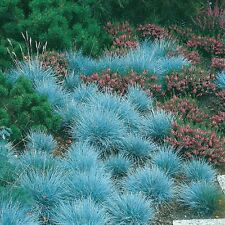 BLUE FESCUE - Festuca glauca 250 Semillas Seeds