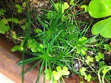 LIVE Mini spike Bonsai Rush plants TERRARIUM Groundcover Bonsai Plants