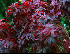 Red Japanese Maple Seed Autumn Colour Bonsai Deciduous Cold Tolerant Small Tree