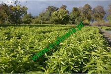 STEVIA DRY LEAVES , up to 15% glycosides  content ;  75%Reb A  200gr +1000seeds