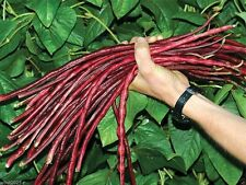 100 Yard-long bean,Aka,Chinese Red Noodle Pole Bean/Seeds/Heirloom , Non Gmo !