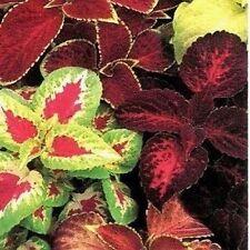 Coleus Solenostemon 'Rainbow Masterblend' Fresh Seeds