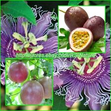 100 Seeds Purple Passion Fruit, Edulis Passiflora, Seeds from Thailand.