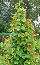 SCARLET RUNNER POLE BEAN-30 Seeds Ornamental & Edible!
