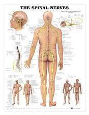 The Spinal Nerves Chart/Charts/Models Anatomical Spine