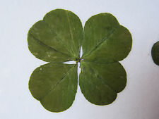 Un joli porte bonheur avec un véritable trèfle à 4 feuilles