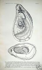 Oyster Anatomy Sexual Organs Print 1897 Antique Print Lithograph Historic Image