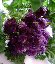 200 Seeds Purple Sprouting Broccoli Seeds BULK SEEDS