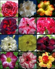 "ADENIUM ""Mixed 12 Type"" 110 Seeds RARE!"