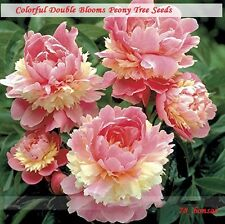 Rare Heirloom Sorbet Robust Colorful Double Blooms Peony Tree Seeds - 5 Seeds