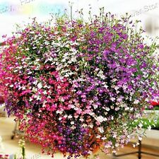 200 Mixed Color Lobelia Seeds Beautiful flowers Richly Flowering Garden 4